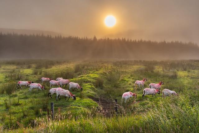 Sheep on Binevenagh (Getty listed)