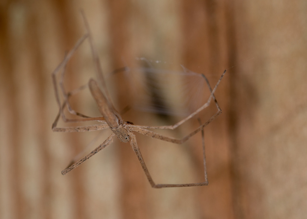 Ogre-faced Spider (Deinops spinosa)