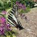 Zebra 8_2_11crop