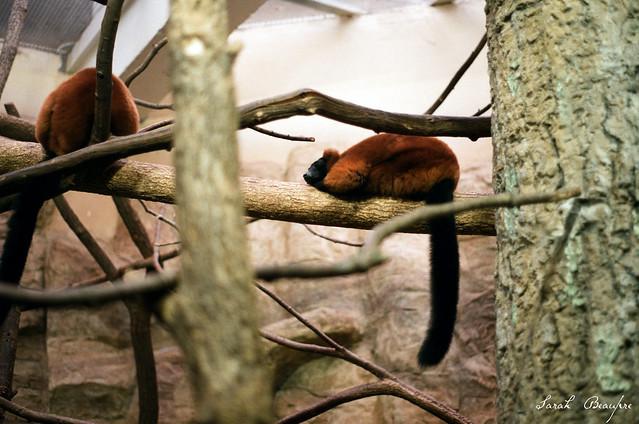 Red-ruffed Lemur.
