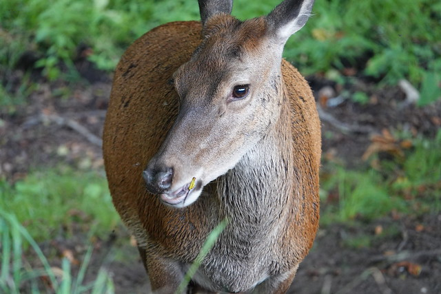 Red Deer, Wollaton Park, Nottingham UK