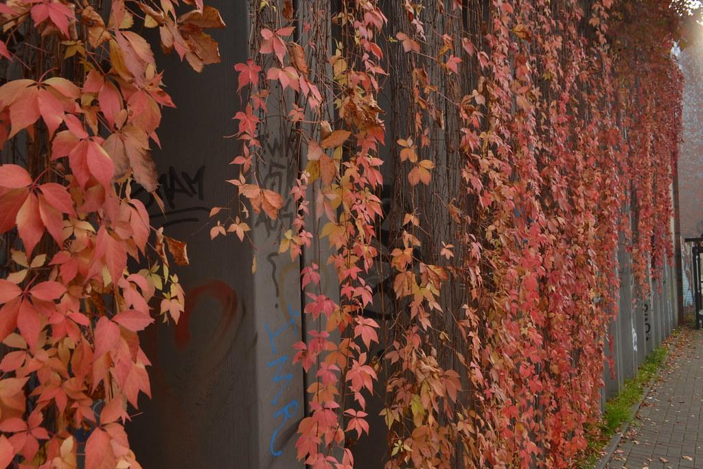 Herbstfarben nahe der Bushaltestelle Liebigstraße in Köln-Neuehrenfeld (141FJAKA_6364)