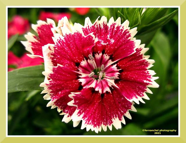 Dianthus chinensis (2021)