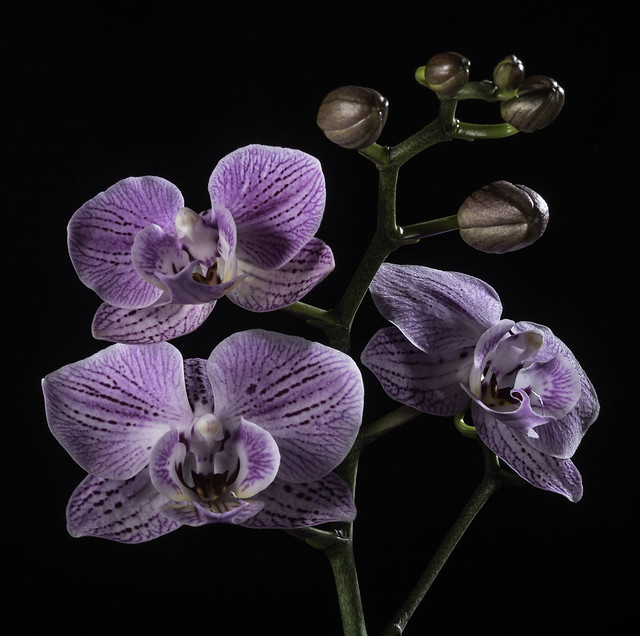 Purple Orchid Blooms And Buds