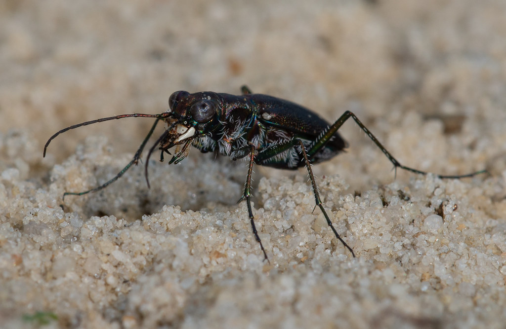 Punctured Tiger Beetle (Cicindela punctulata)