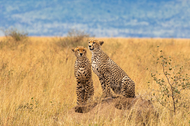 Armchair Traveling - The Cheetah Brothers Hunting in the Serengeti