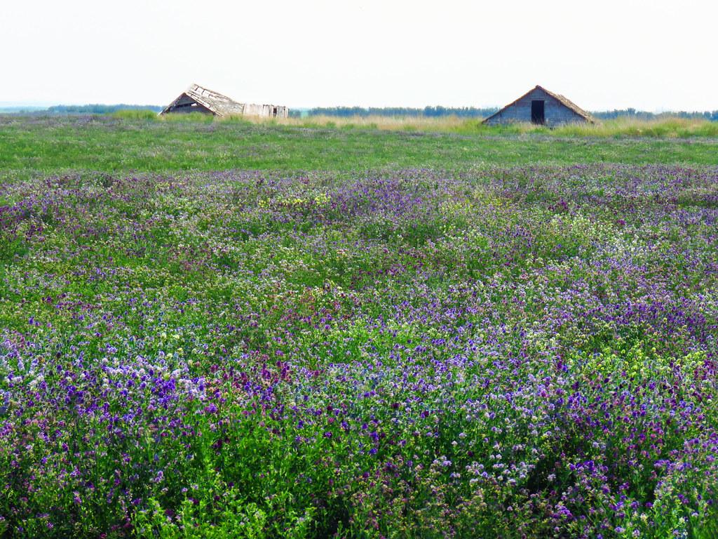 04 Field of wildflowers - Alfalfa?