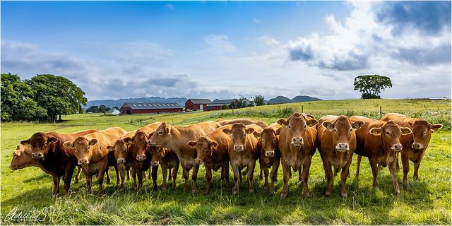 Norwegian Cows