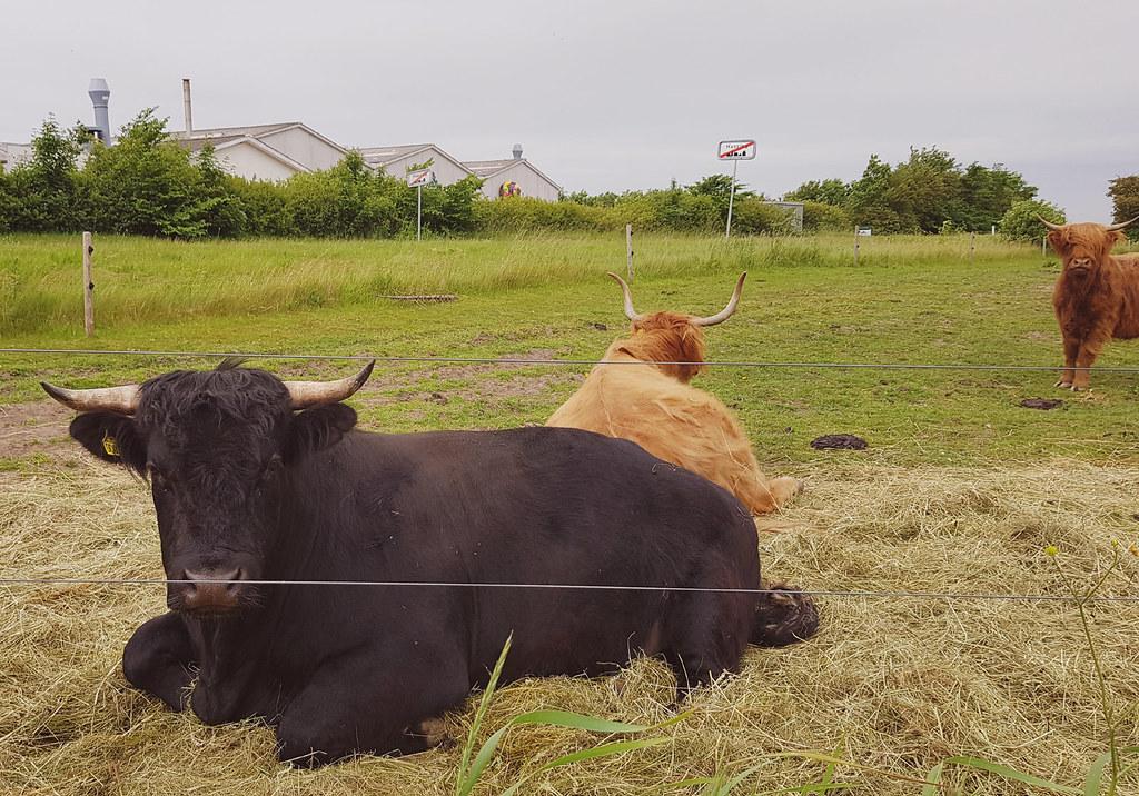 Highland cattle in flat landscape