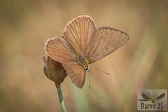 Polyommatus fabressei