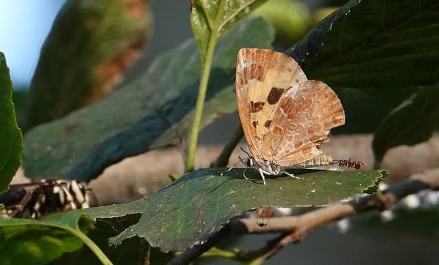 Harvester butterfly, Tommy Thompson Park, Toronto