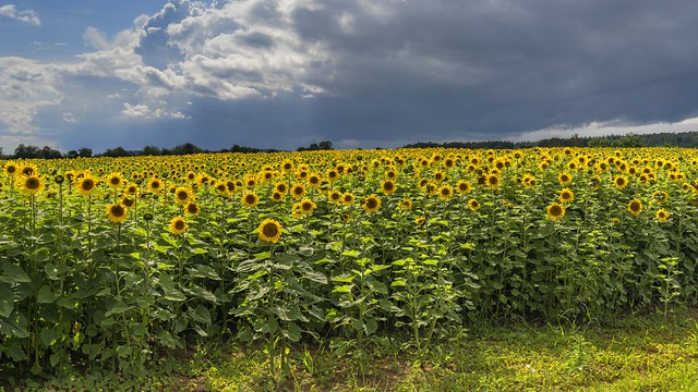 *approaching thunderstorm over sunflower field*