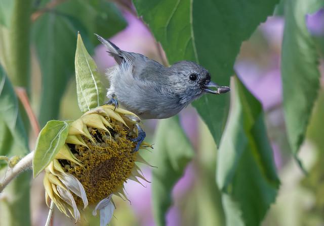 oak titmouse grabbing a sunflower seed