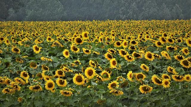 Raining On The Sunflower Parade