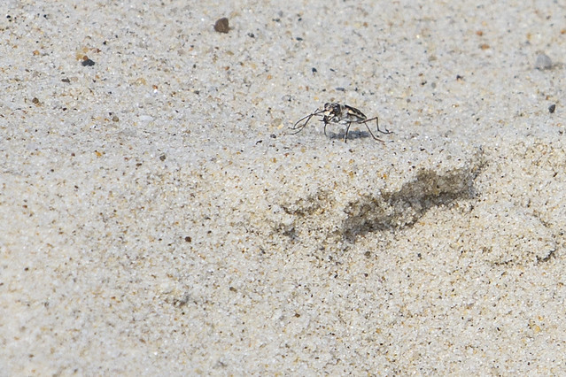 Tiger Beetles on Nauset Beach
