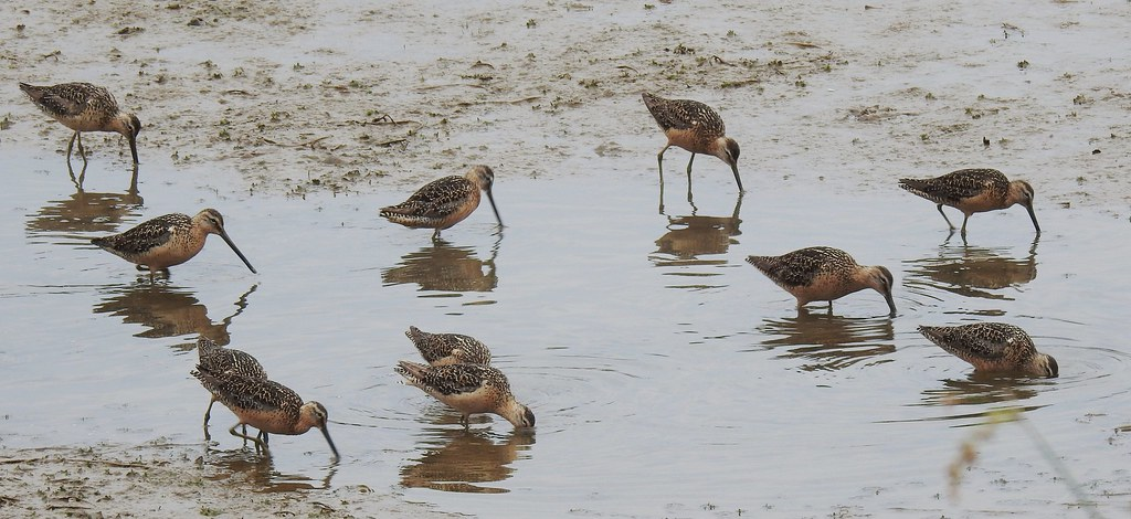 Long-billed Dowitchers 7/31/21