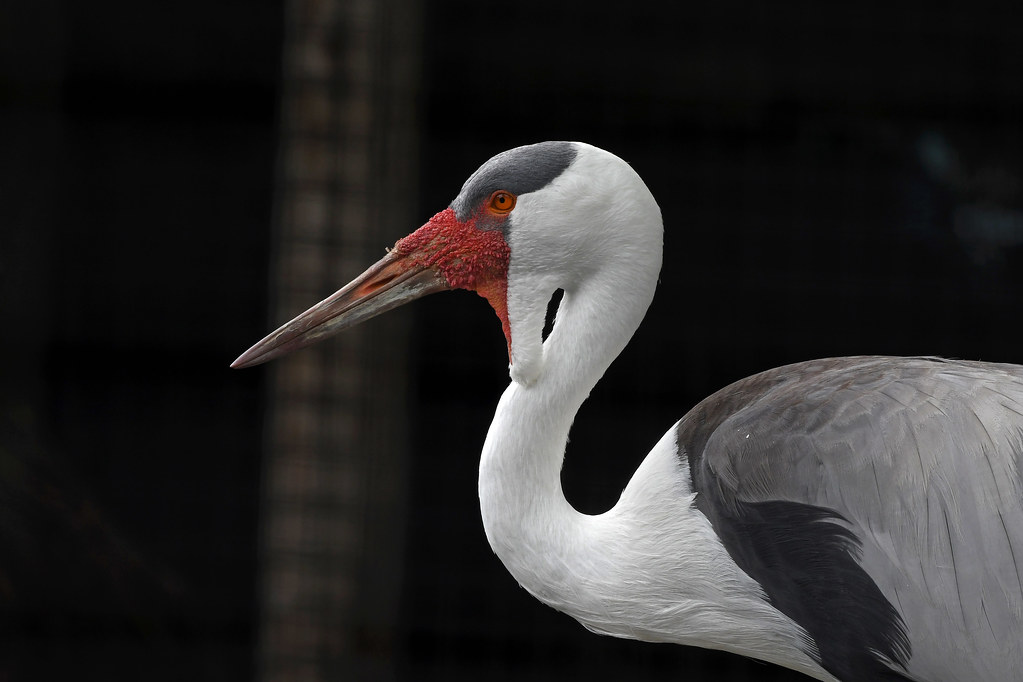 Wattled Crane (NEW Zoo)