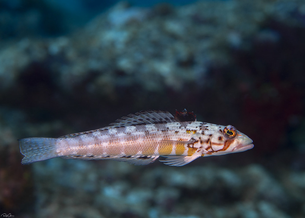 Maldivian Sandperch - Parapercis signata