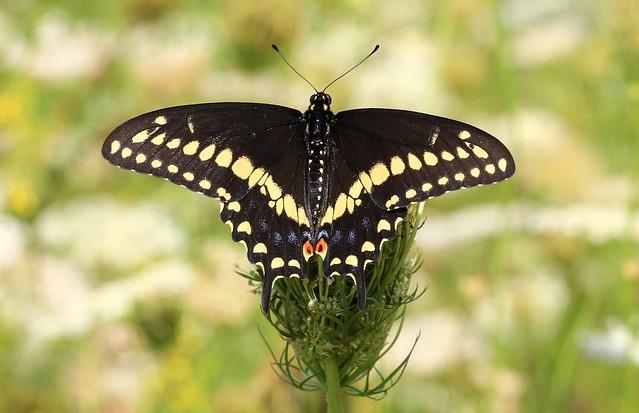 eastern black swallowtail (Papilio polyxenes asterius) male at Winneshiek County Landfill IA 653A9440