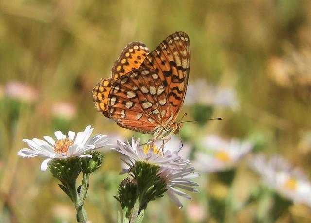 Rare Hydaspe Fritillary Butterfly