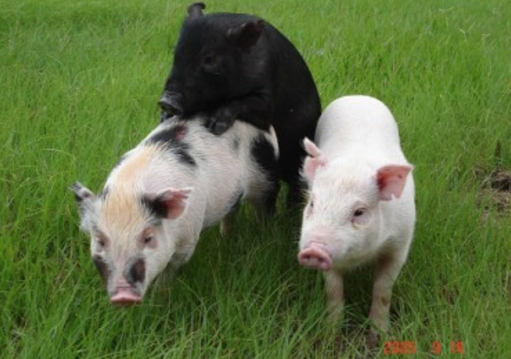 20210803蘭嶼豬保種回流有成記者會。蘭嶼豬、畜試花斑豬與白色賓朗豬。照片提供:畜試所