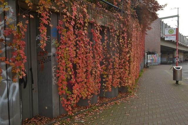 Herbstfarben nahe der Bushaltestelle Liebigstraße in Köln-Neuehrenfeld (141FJAKA_6366)
