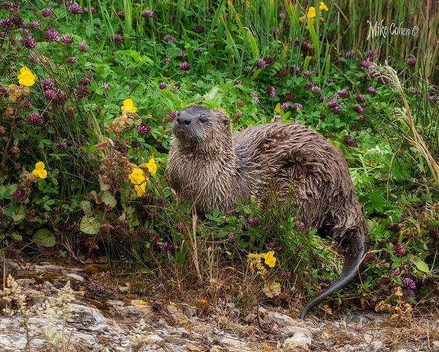 River Otter in Flowers