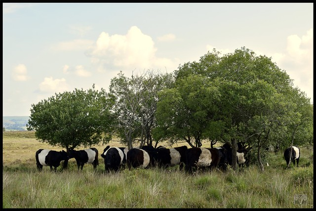 Hiding in the shade,Belted Galloway`s,Reapsmoor,Staffordshire Moorlands.