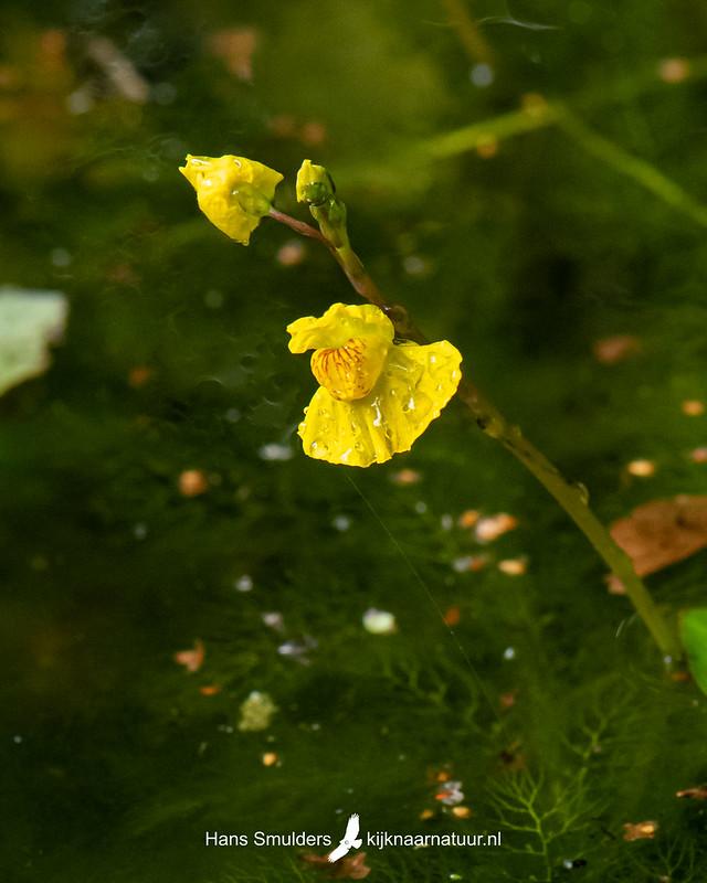 gewoon blaasjeskruid (Utricularia vulgaris)-850_4747