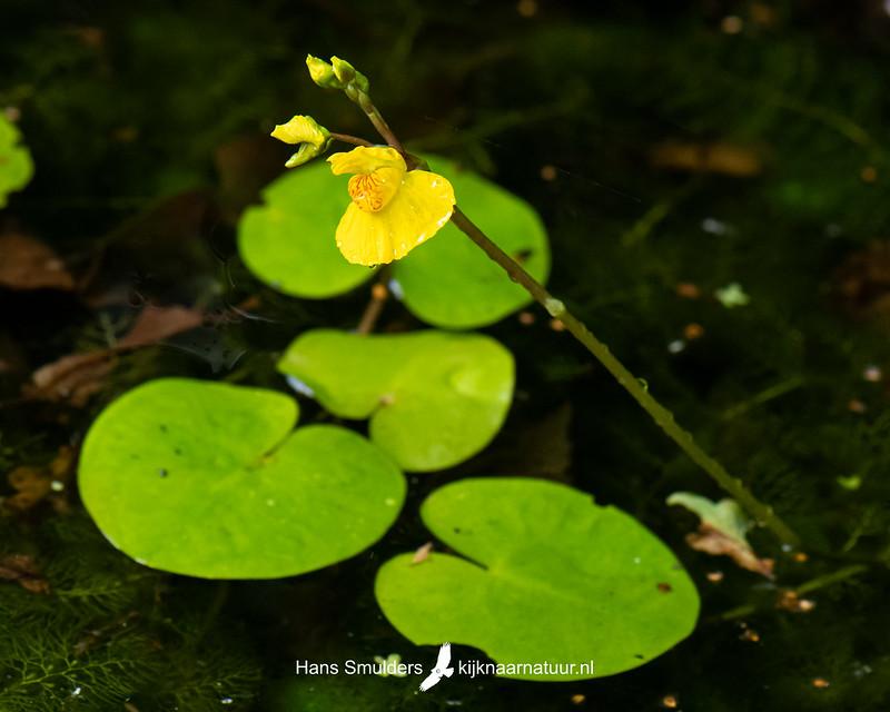 gewoon blaasjeskruid (Utricularia vulgaris)-850_4745