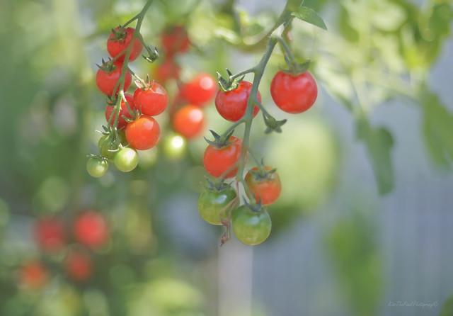 Cherry Tomato Harvest...