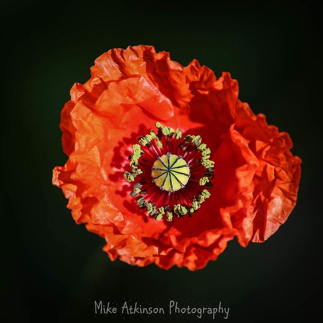 Single Red Poppy In The Sun