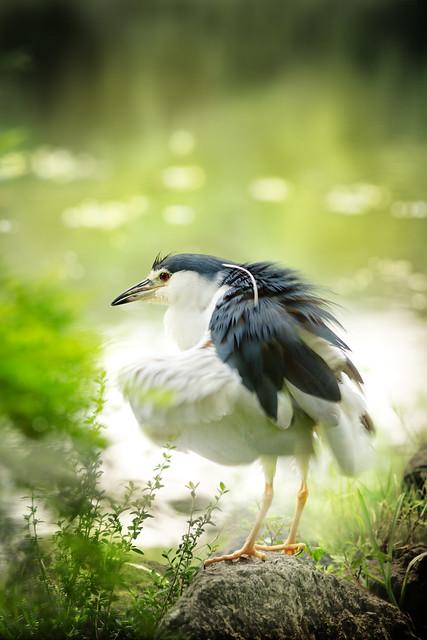 Black-crowned Night heron | 暗光鳥