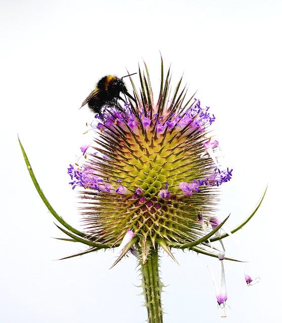 teaselling bee