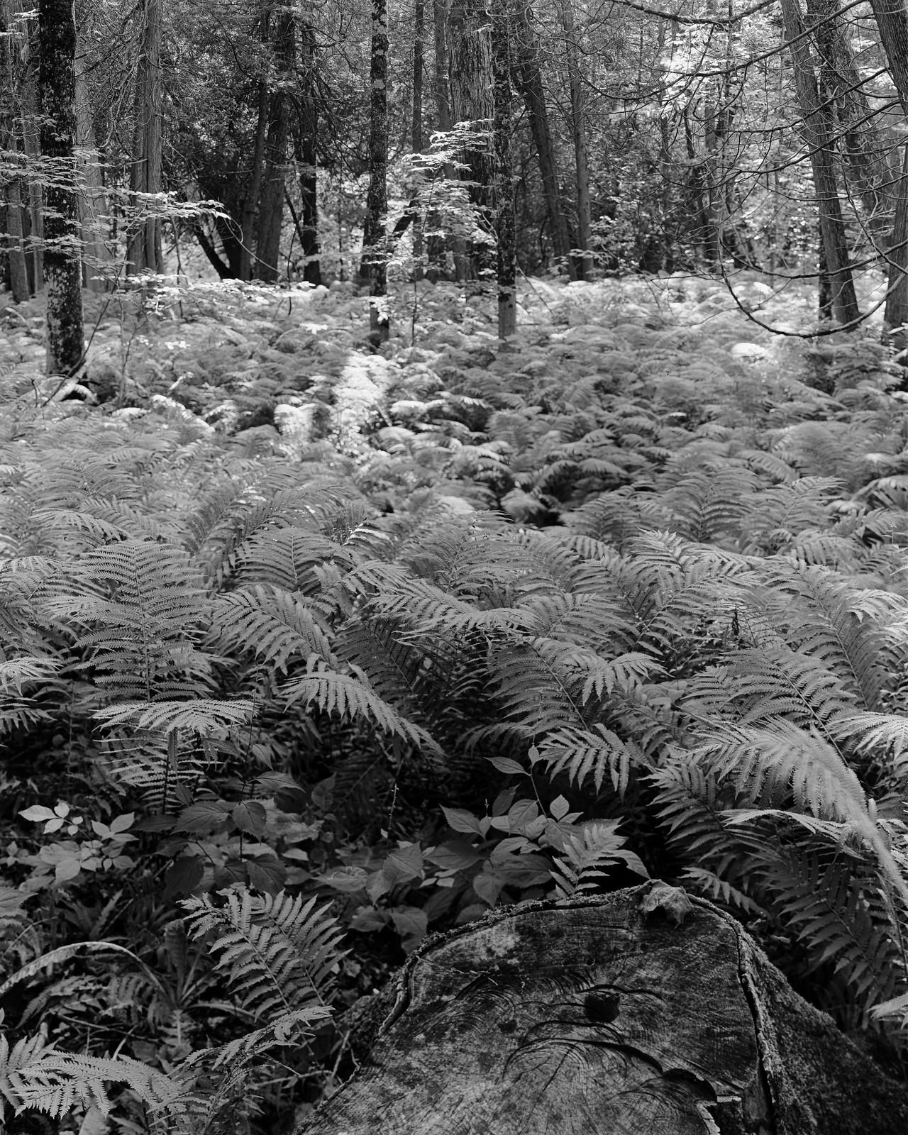 Forest Ferns 2