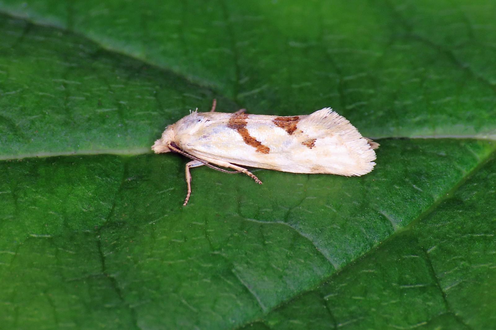 49.120 Yarrow Conch - Aethes smeathmanniana