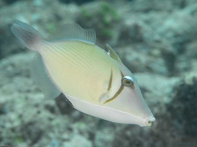Lei Triggerfish - Sufflamen bursa
