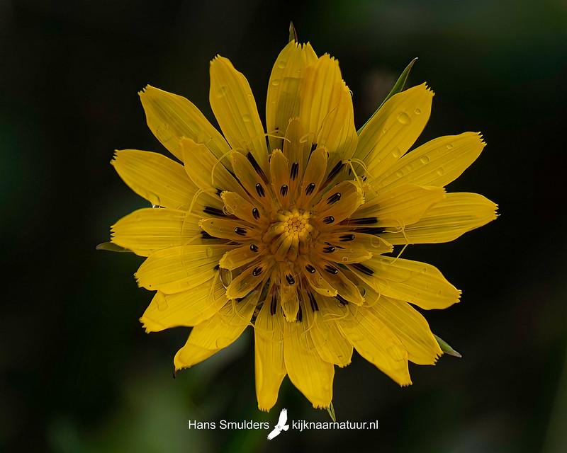 gele morgenster (Tragopogon pratensis)-850_4760