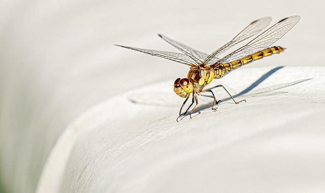Female Ruddy Darter Dragonfly (I think!)