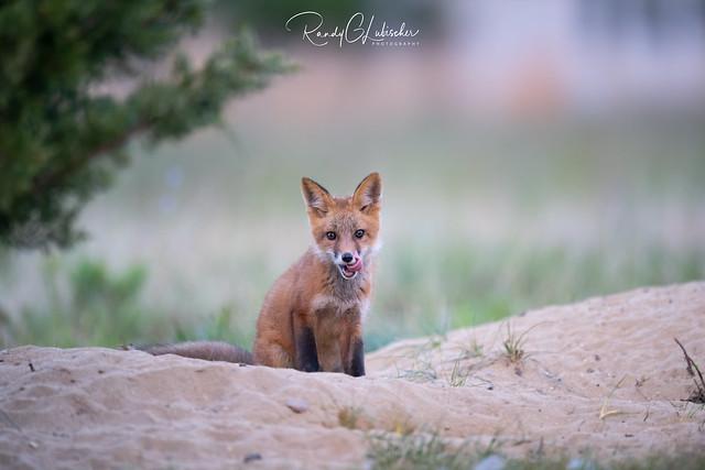 Red Fox | Vulpes Vulpes | 2021 - 55