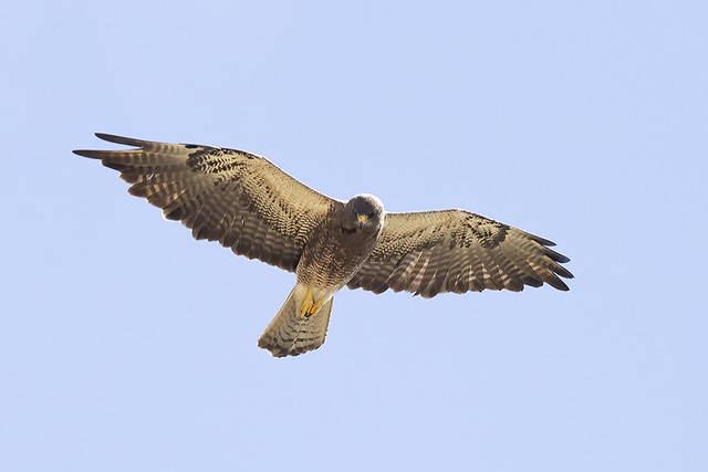 Swainson's Hawk looking down for prey