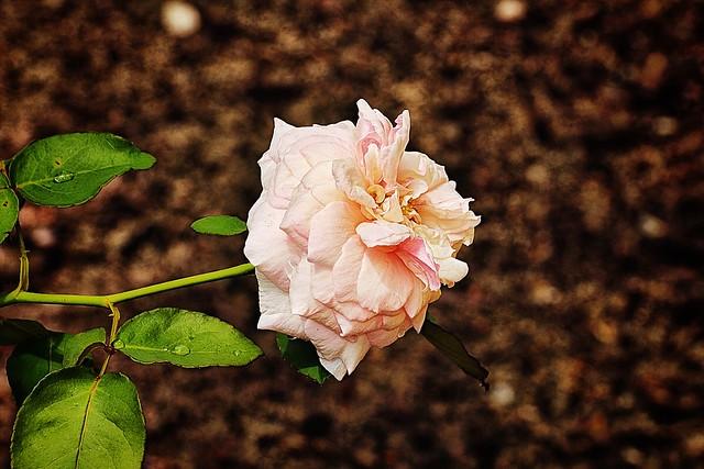 """Bourbon Rose ('Rosa, Edith de Murat')"""