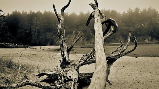 Drift Tree on the Beach