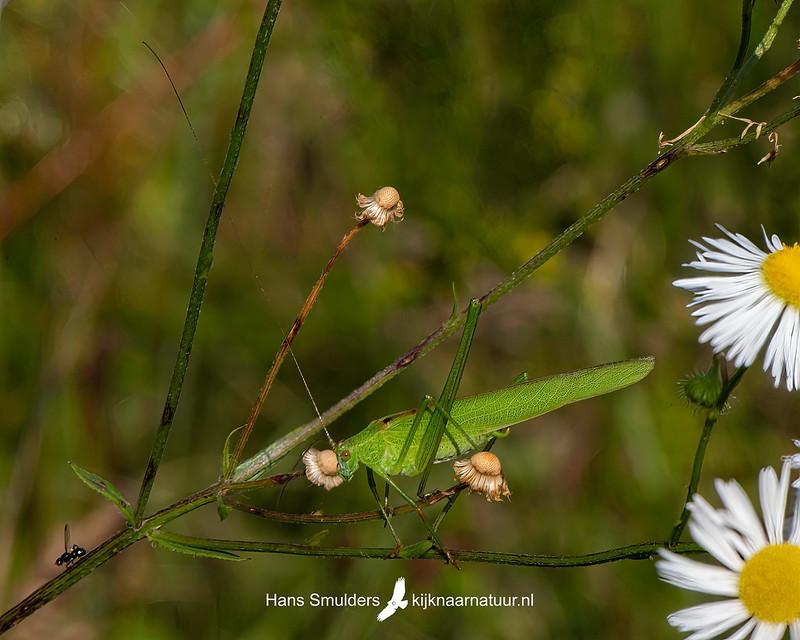grote groene sabelsprinkhaan (Tettigonia viridissima)-850_4785