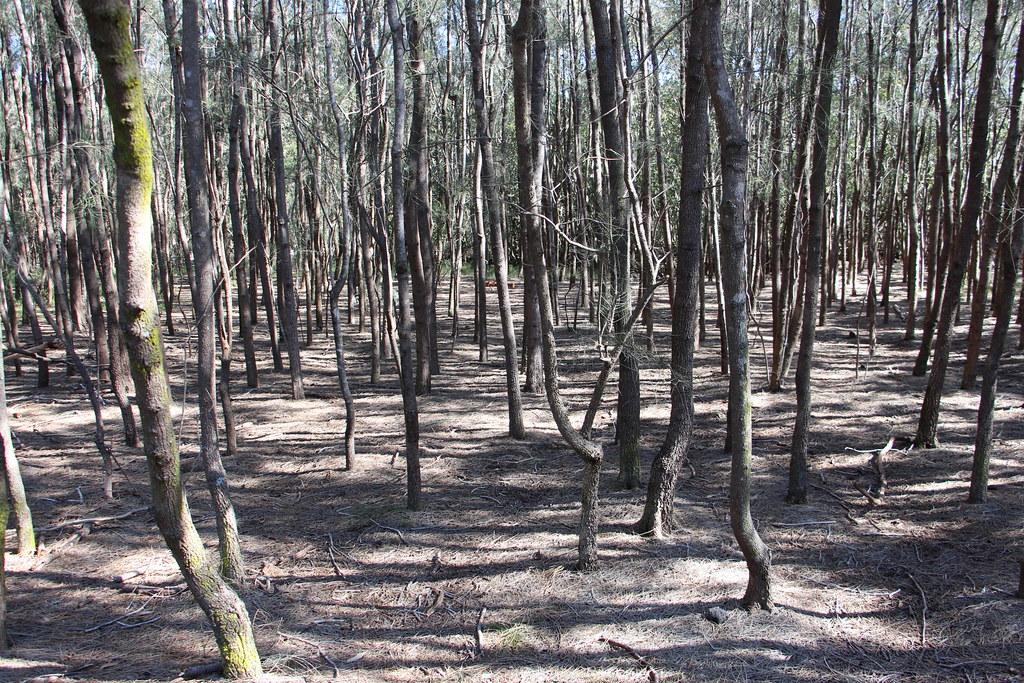 Swamp Oak (Casuarina glauca)
