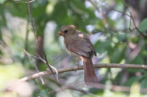 Young female cardinal