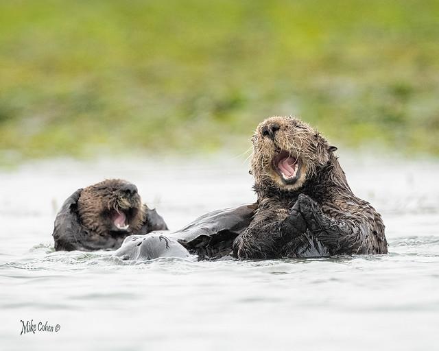Sea Otters Reacting to a Joke
