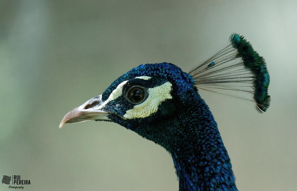 Pavão | Pavo Cristatus | Peacock