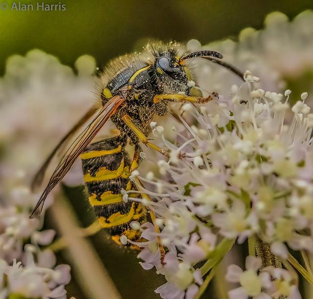 Tree wasp - Dolichovespula sylvestris