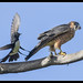 Willie Wagtail, Australian Hobby: The irrepressible force meets the immovable object